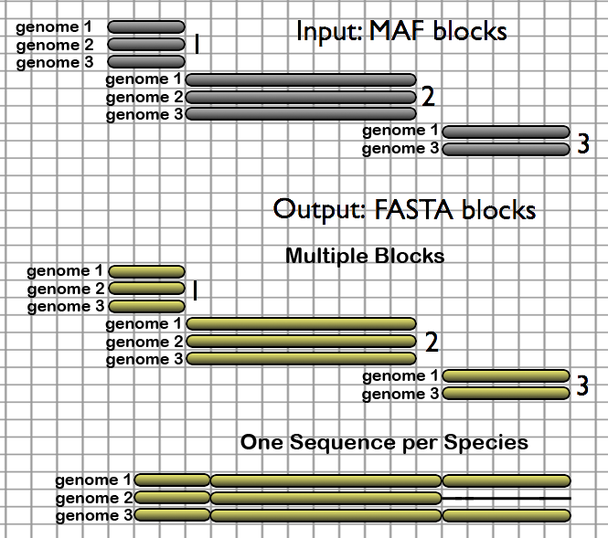 Here, the two output styles of the MAF to FASTA tool are illustrated, one which creates a one-to-one mapping of MAF blocks to FASTA blocks and another which creates a single concatenated multiple-species FASTA block, where species which are absent from a particular block have their sequence filled in with gap characters.