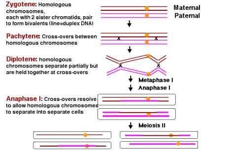 each homologous chromosome  Labeled Homologous Chromosomes