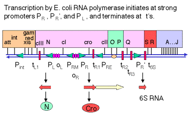 N encodes an antiterminator N Antitermination